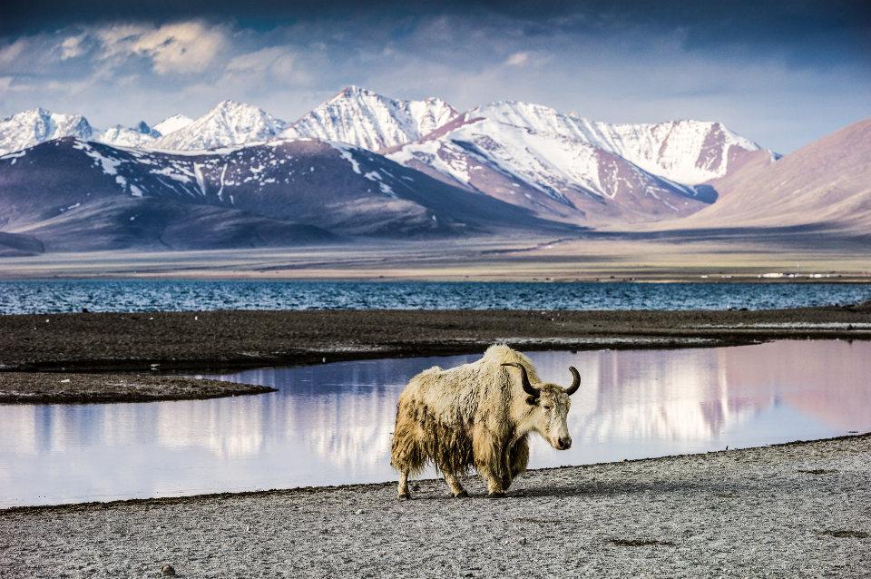 Tibet-Bulle-NP001893-rs